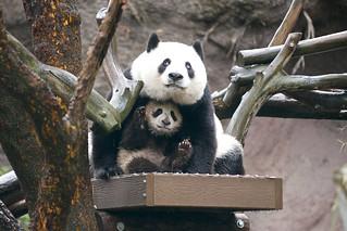 Xiao Liwu's panda umbrella