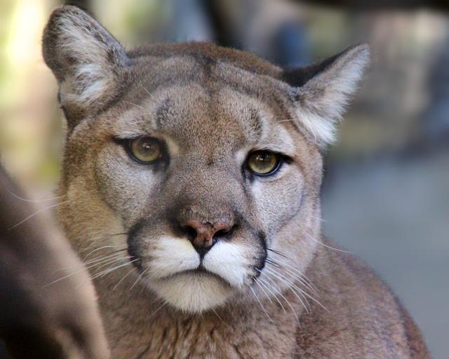 Mountain lion face close up - photo#25