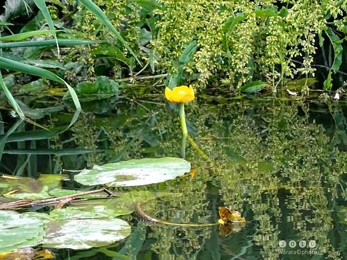 Günz -der Fluss > bei Ellzee in  Bayerisch Schwaben - Gelbe Teichrose (Nuphar lutea)