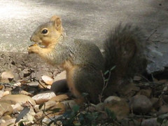 Squirrel feeding on acorns