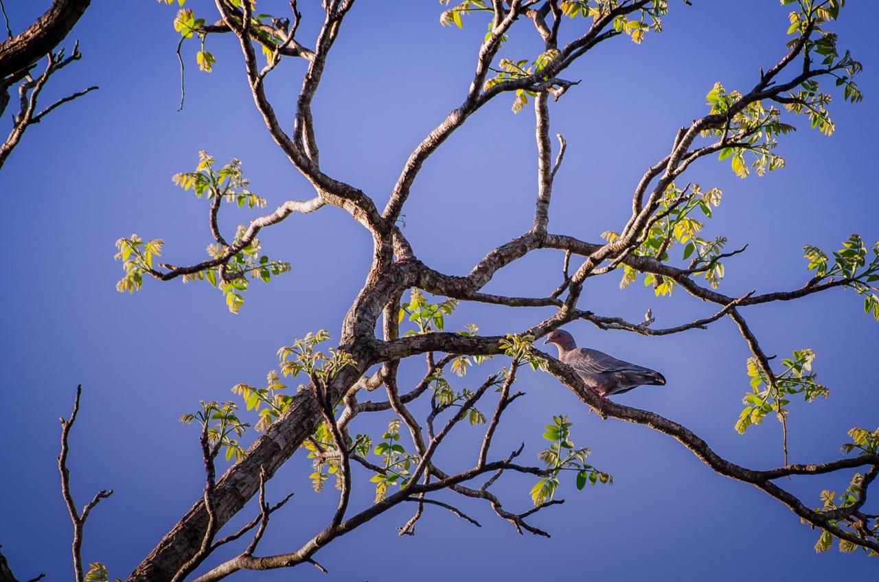 La paloma picazuró (Patagioenas picazuro) nos mira desde la altura buscando sol, le gusta el bosque y los pastizales. (Elton Núñez)