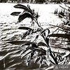 Flax seed pods #harakeke #nature #rotoroa #morningwalk