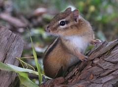 [フリー画像素材] 動物 1, 栗鼠・リス ID:201210171800