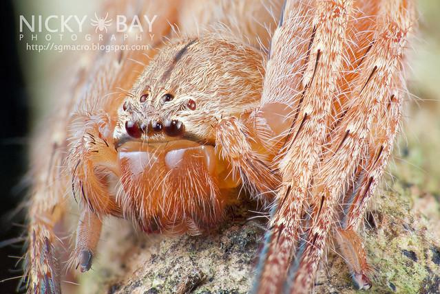 Huntsman Spider (Sparassidae) - DSC_8217