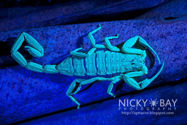 Scorpion (Lychas scutilus?) - DSC_8291