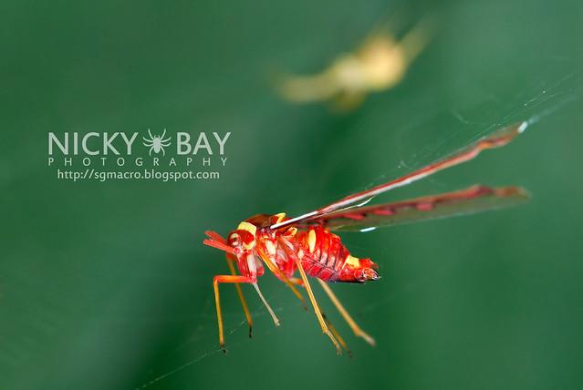 Derbid Planthopper (Derbidae) - DSC_6581