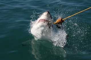 "Great white shark, ""say cheese"""