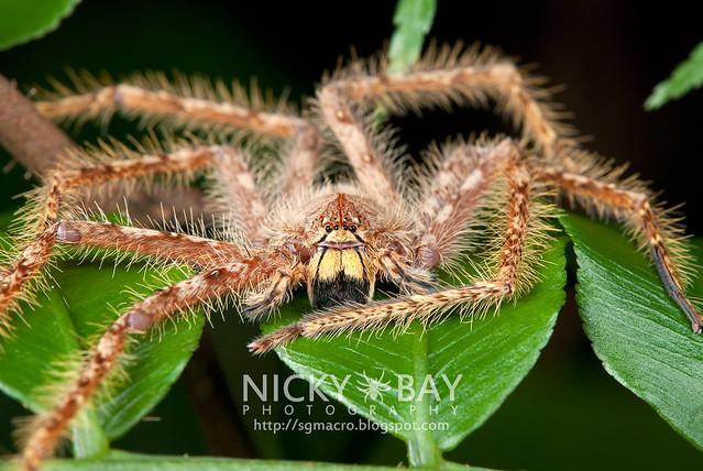Huntsman Spider (Sparassidae) - DSC_5891