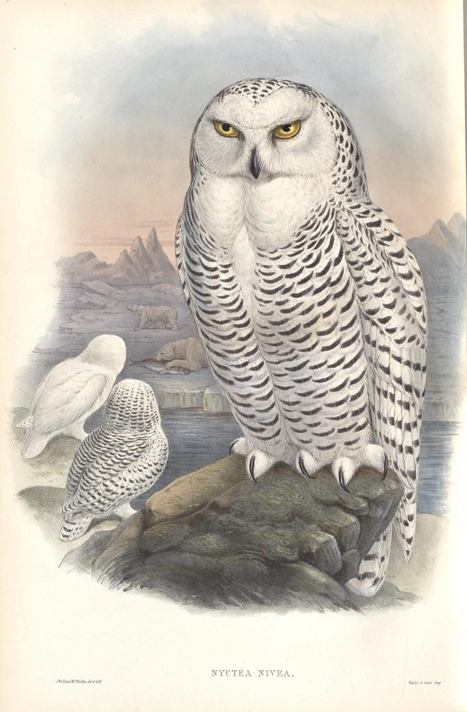 Nyctea Nivea / Snowy Owl
