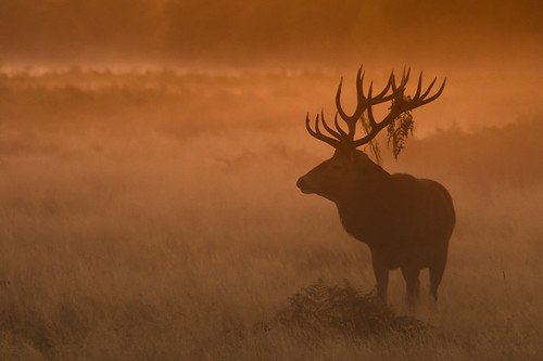 morning autumn england orange sun mist nature animal silhouette sunrise mammal dawn stag unitedkingdom surrey deer planet animalplanet reddeer vertebrate rut bushypark cervuselaphus natureplus flickraward flickrelite