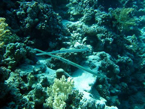 Poisson flûte de Plongez-Pépère, sur Flickr