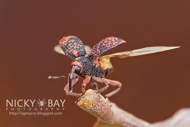Weevil (Curculionidae) - DSC_2889