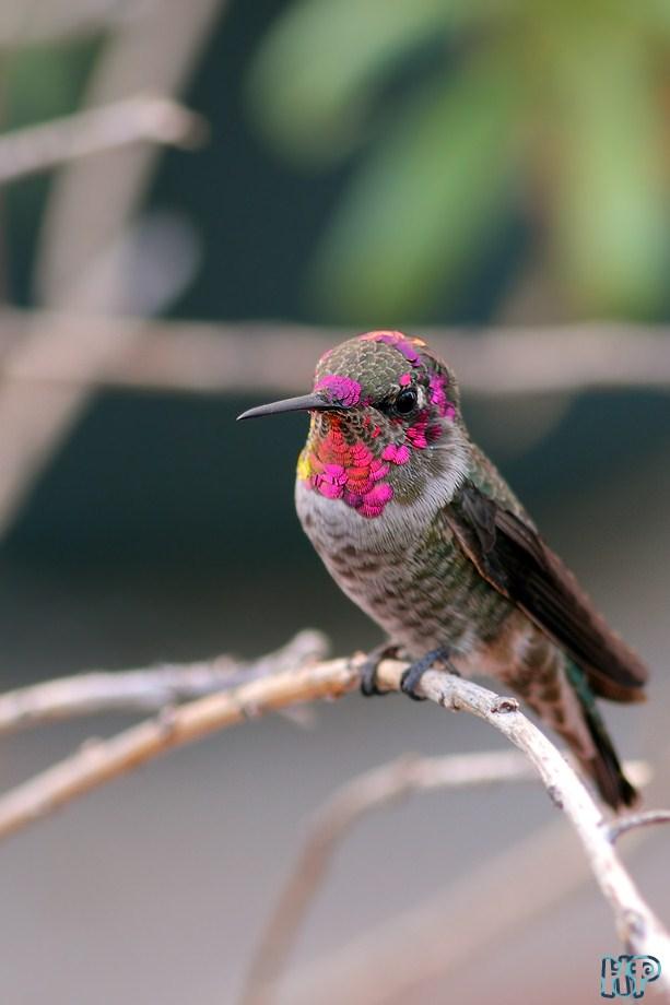 Anna's Hummingbird 102012-4