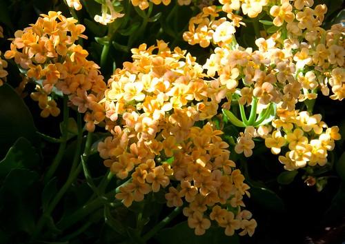 Kalanchoe blossfeldiana LG 10-18-12 4790 lo-res