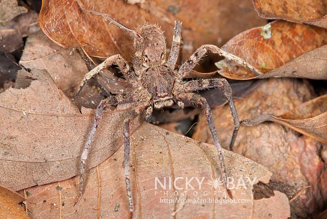 Huntsman Spider (Sparassidae) - DSC_1035