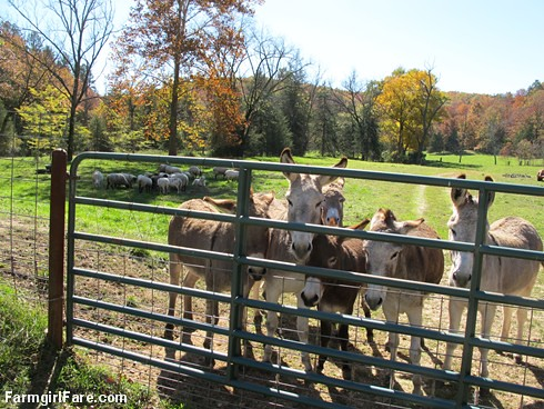 A peaceful scene in the sheep pasture, with donkeys - FarmgirlFare.com