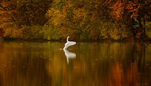 Swan, Swan, Georgiaville Pond by Dragonfly Island