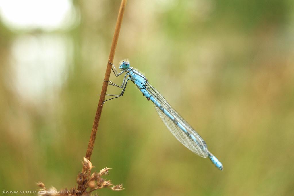 Resting Dragonfly