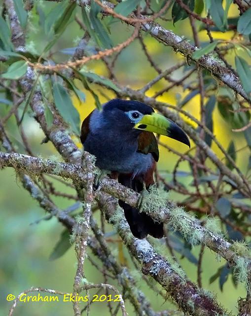 Hooded Mountain Toucan,   Tucán Encapuchado,    Andigena cucullata,