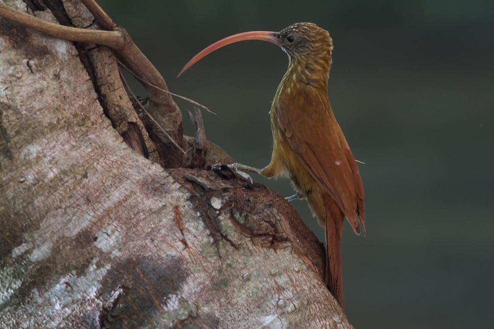 Un Picapalo colorado (Campylorhampus trochilirostris) se alimenta de insectos y de otros invertebrados, que encuentra escarbando en los troncos y ramas de los árboles con su largo pico. (Tetsu Espósito)