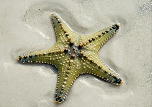 starfish_sea_star