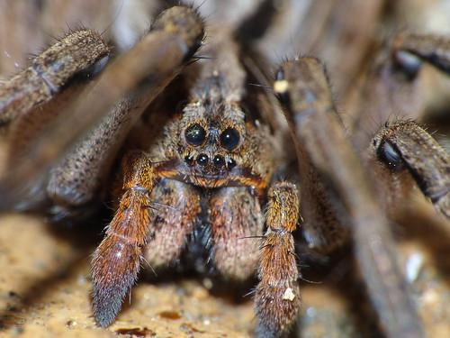 Tarantula Eyes - Ojos de Tarantula