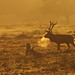 Morning_stag_Bradgate