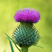 Wild ''Spear Thistle Cirsium vulgare'', Single flower head with bright pink florets and the ball of spiny bracts. by ajay's visual~panorama©