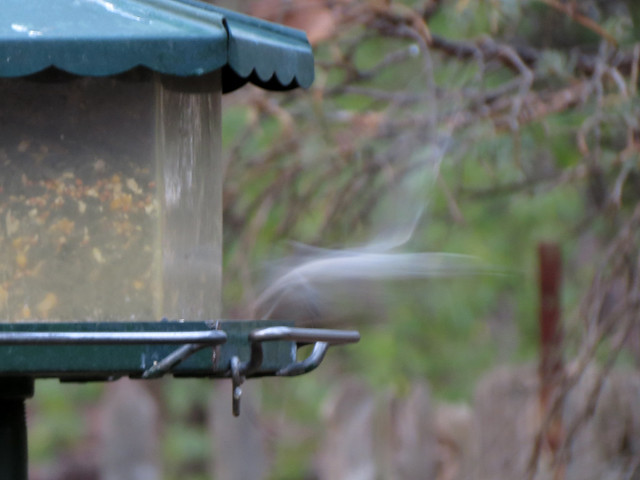 Ghost of White-breasted Nuthatch