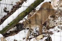 cougar(0.0), lynx(0.0), puma(0.0), wildlife(0.0), animal(1.0), zoo(1.0), small to medium-sized cats(1.0), mammal(1.0), fauna(1.0), wild cat(1.0), bobcat(1.0),