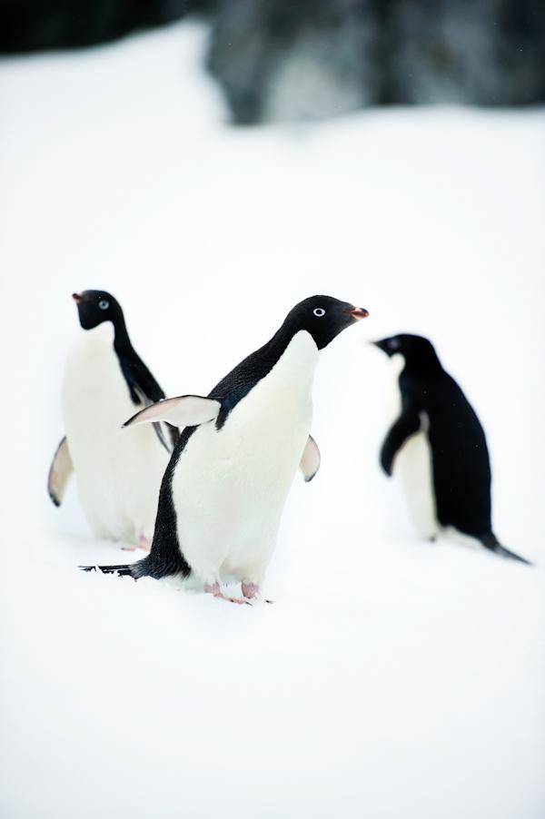 RYALE_Antarctica_Penguins-28