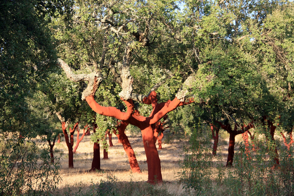 2011 Cork Oaks, Portugal