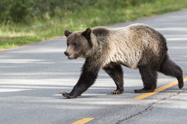 Crossing bear