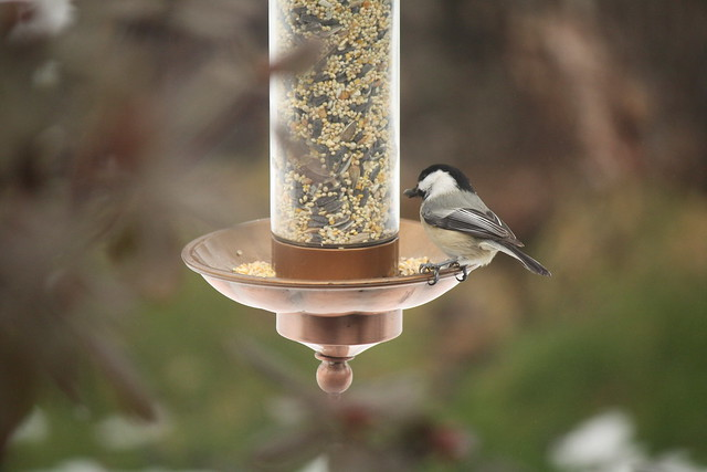 chickadee at birdfeeder