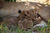 Two lion cubs feeding