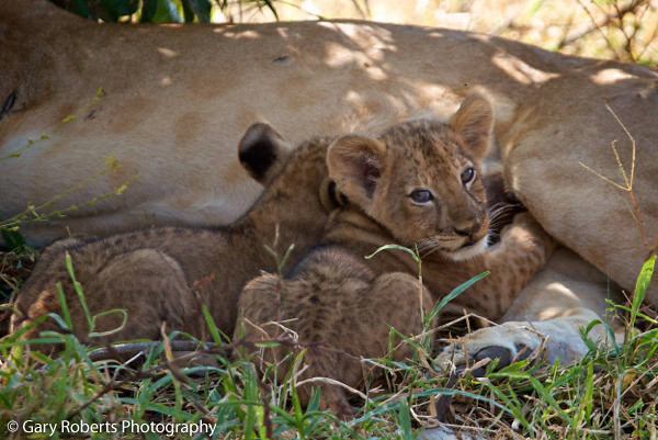 Typically, 2-4 cubs are born to a litter, but they can be as large as 7! And although cubs begin to hunt independently at around 18 months, they rarely leave their pride before the age of 2. Learn more about lions and Panthera's solution to protecting and increasing the world's remaining African lion populations through Project Leonardo @ bit.ly/YbMRFx
