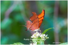Ruddy Daggerwing Florida butterfly photography by Ron Birrell; DSC_2844