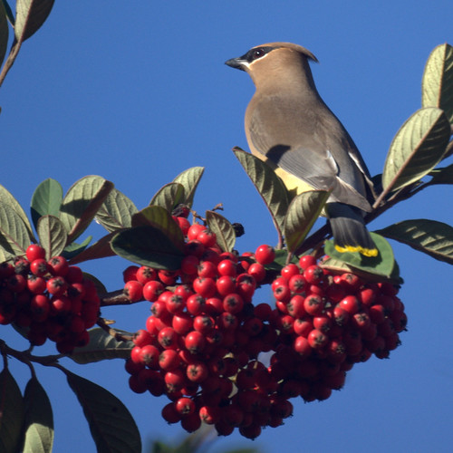 Cedar Waxwing by Mike's Birds