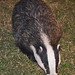 Eurasian Badger - Photo (c) Tony Morris, some rights reserved (CC BY-NC)