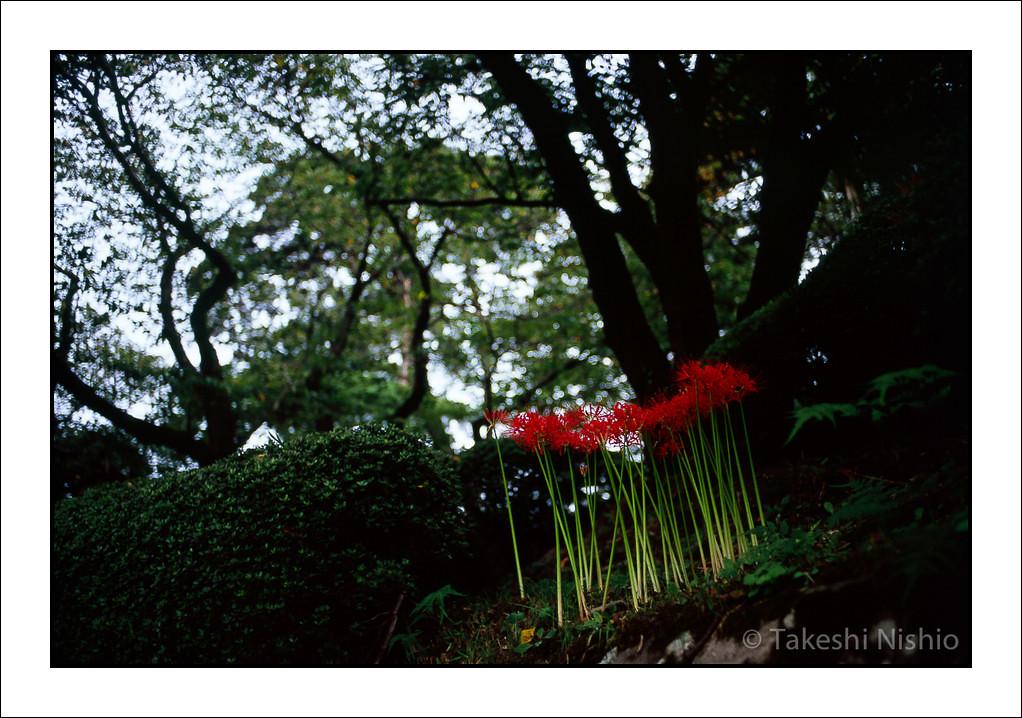ヒガンバナ / Red Spider Lily