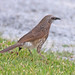 Small photo of Hartlaub's Babbler (Turdoides hartlaubii)