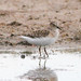Small photo of Temminck's Stint (Calidris temminckii)
