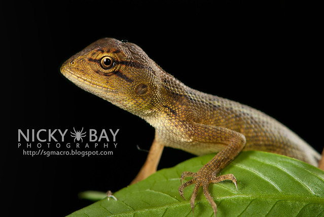 Changeable Lizard (Calotes versicolor) - DSC_7841