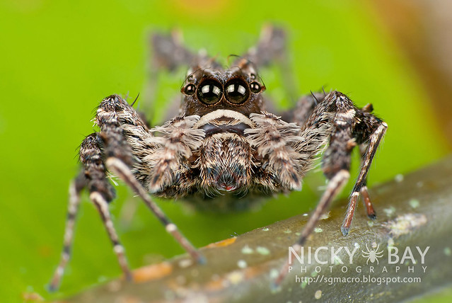 Jumping Spider (Portia sp.) - DSC_6620