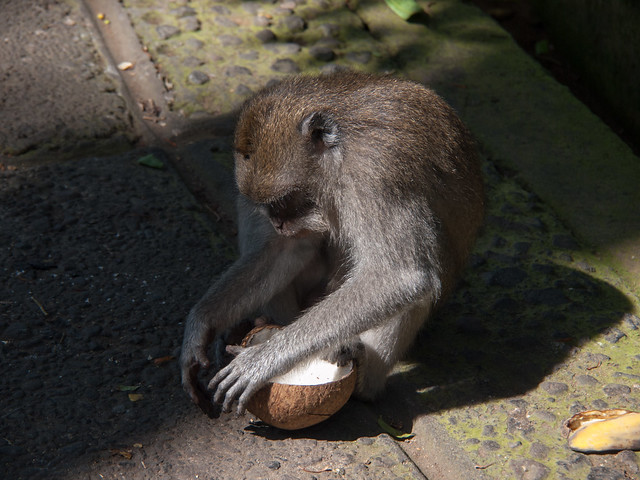 Monkey dealing with coconut