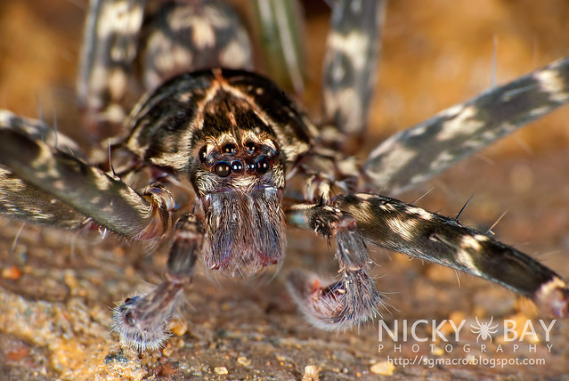 Huntsman Spider (Sparassidae) - DSC_5997