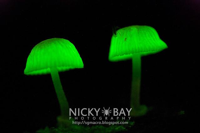 Bioluminescent Fungi (Filoboletus manipularis?) - DSC_5655