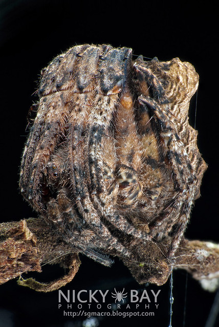 Tree Stump Orb Weaver (Poltys sp.) - DSC_5118