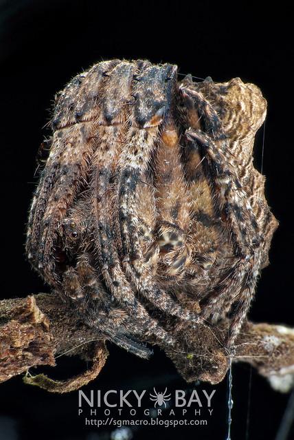 Tree Stump Orb Weaver (Poltys sp.) - DSC_5118