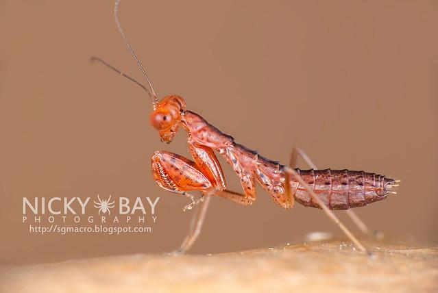 Praying Mantis nymph (Mantodea) - DSC_3161